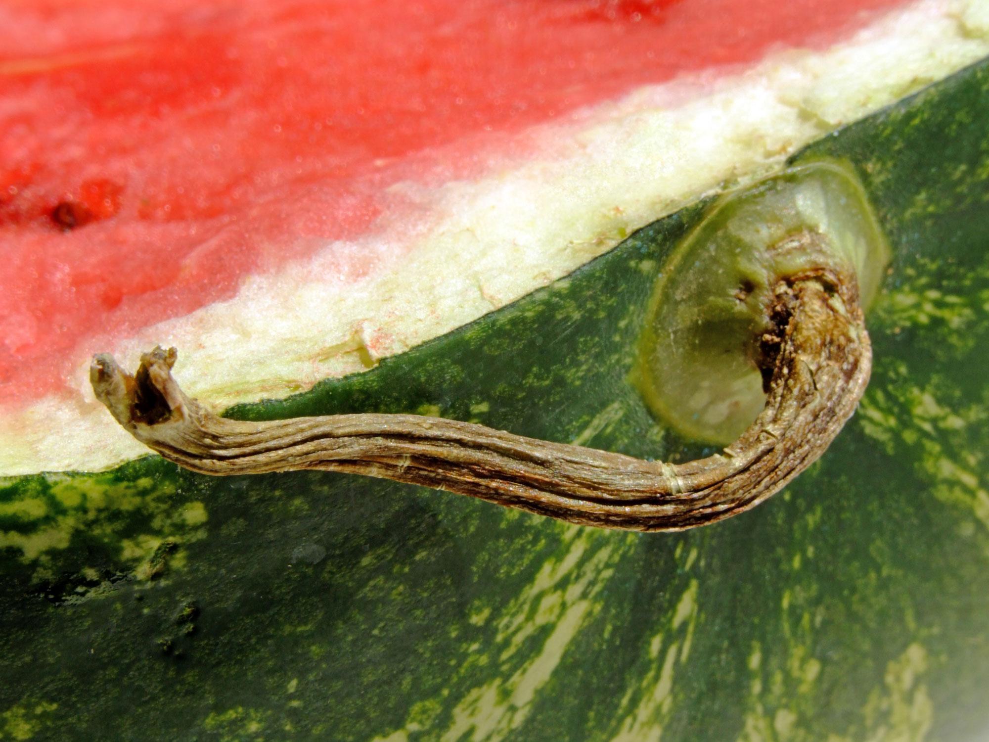 görögdinnye és ízületi fájdalmak mi fáj az alsó lábszár ízületéről