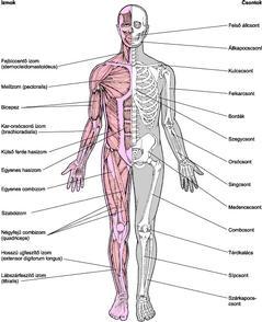 arthrosis fajtái