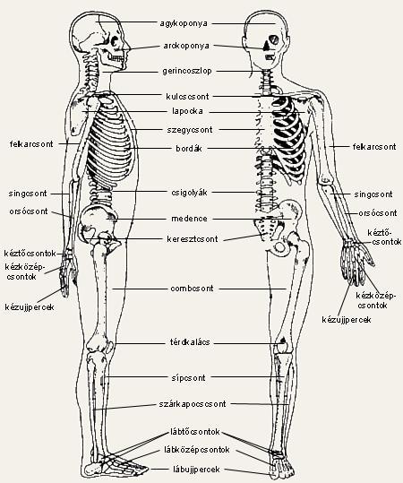 emberi borda, bordák anatómiája, felépítése, funkciói, képek, EUROLAB