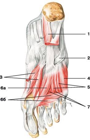 ízületi sérülések sprainokkal és inakkal az ízület lába duzzadt és fáj