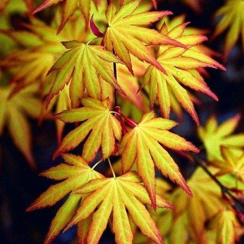 együttes kezelés juhar sárga levelekkel