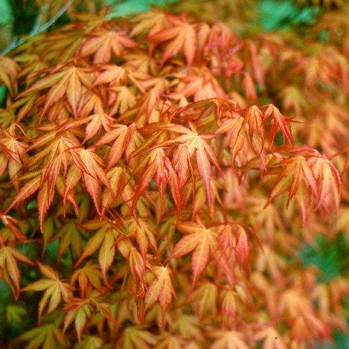 juhar levelek közös kezelés