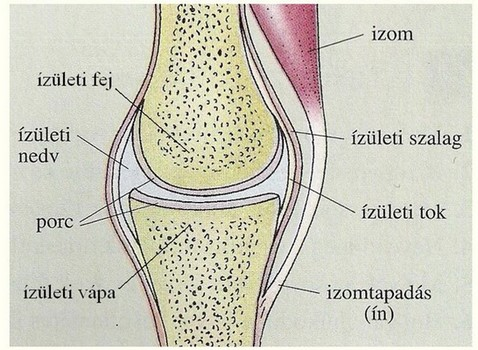 ízületek és csontok fertőző betegségei miért fájnak a csípőízületek futás után