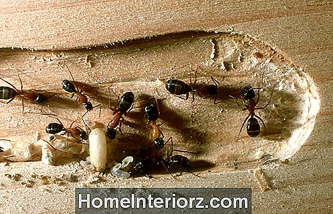 közös kezelés hangyákkal